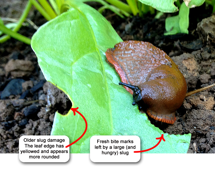 Where Did All The Garden Snails Go? So if